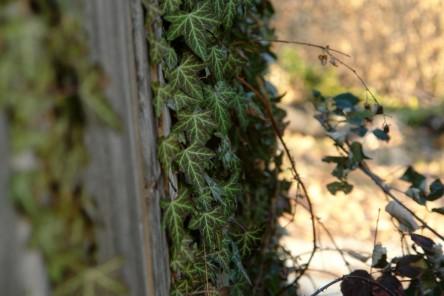 Bild von Efeu, der an einer Holzwand empor klettert