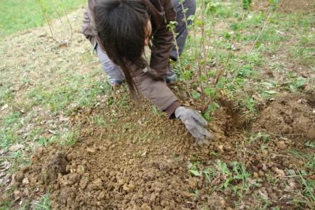 Obststräucher pflanzen 7