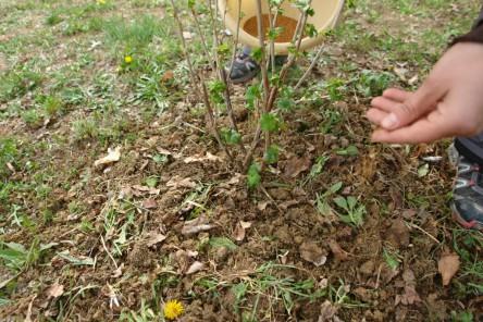 Obststräucher pflanzen 8