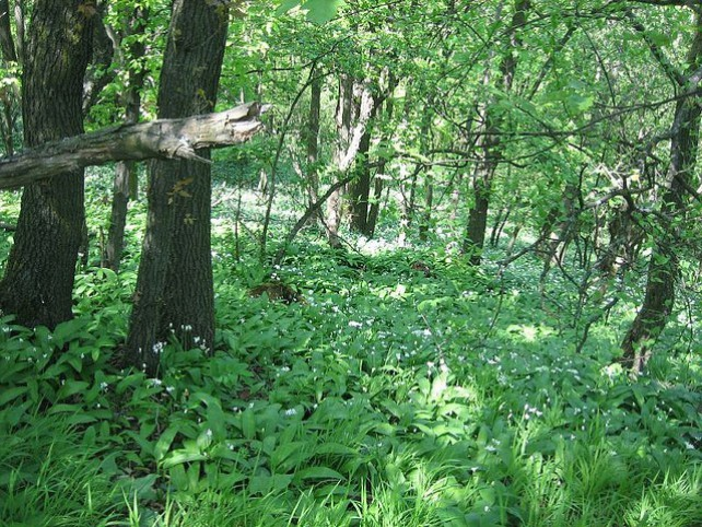 Foto eines ganzen Teppichs aus Bärlauch im Wald