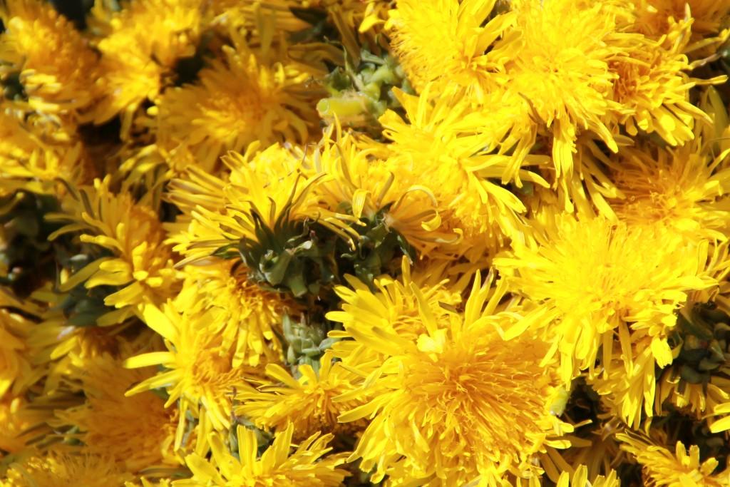 Die Blüten vom Löwenzahn füllen ein Bild aus.