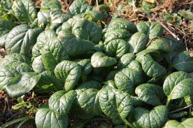 "Asia-Salat ""Yukina Savoy"" - Mein Favourite :)"