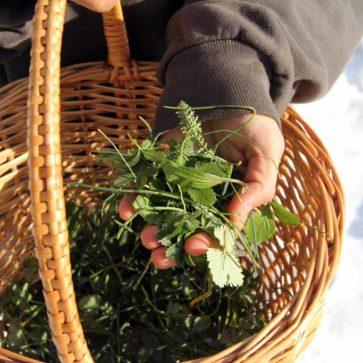Wildkräuter sammeln im Winter