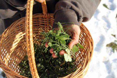 Wildkräuter sammeln im Winter 1