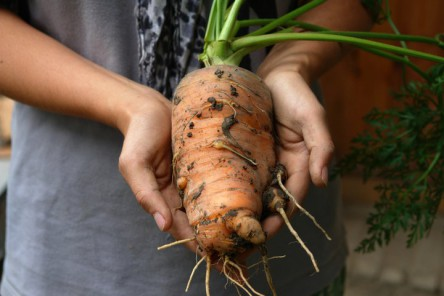 Foto einer großen Karotte, die von zwei Händen gehalten wird