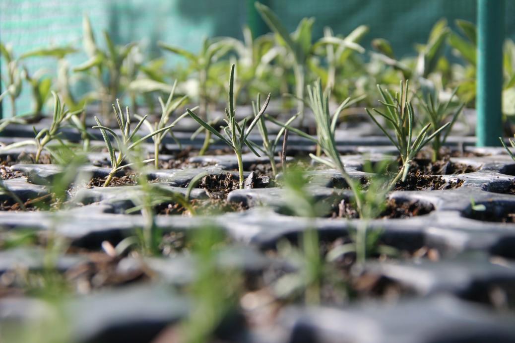 Foto von Rosmarin, Oregano, Salbei, Thymian, Ysop nach ein paar Tagen in der Erde... Stecklingsvermehrung