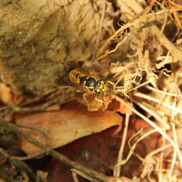 Die Wespe – unser verkannter Nachbar