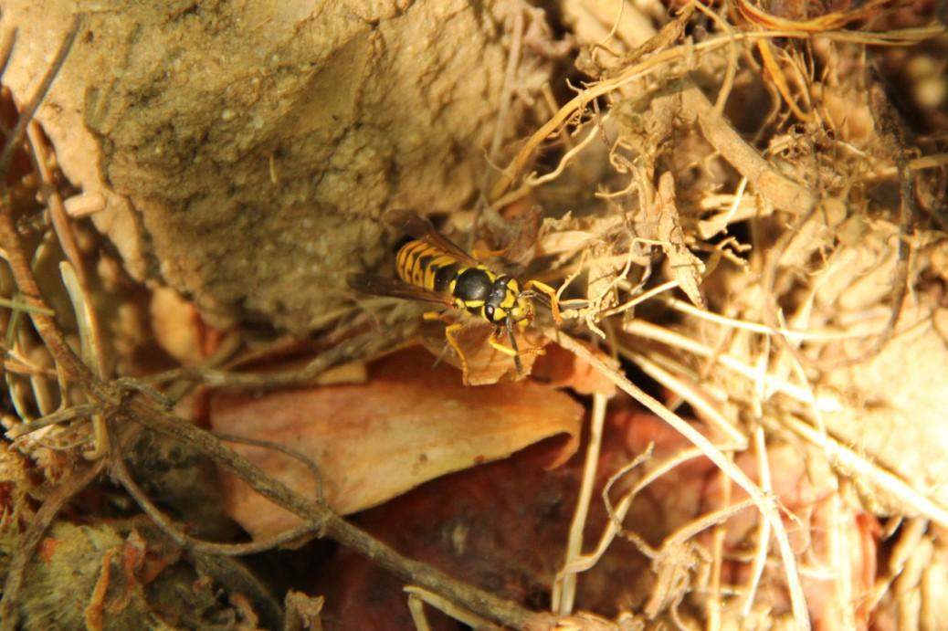 Foto einer Wespe