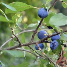 Foto von dunkelblauen Schlehdornfrüchten.