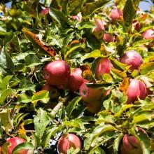 Foto von roten Äpfeln auf einem Baum