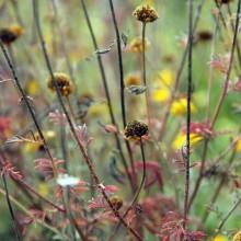 Foto von Färberkamille in ihrer Herbstfärbung