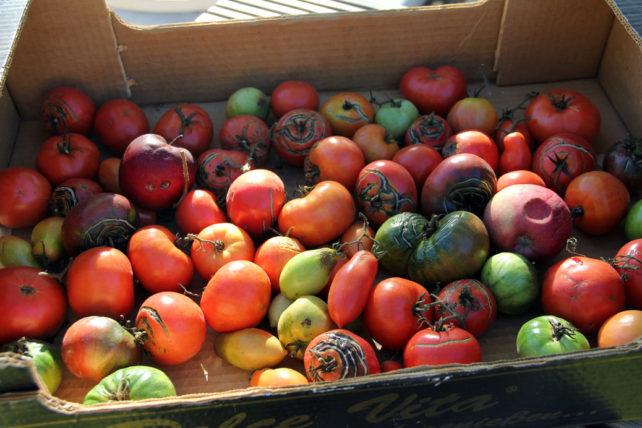 Foto von unreifen und reifen Tomaten in einer Kiste.