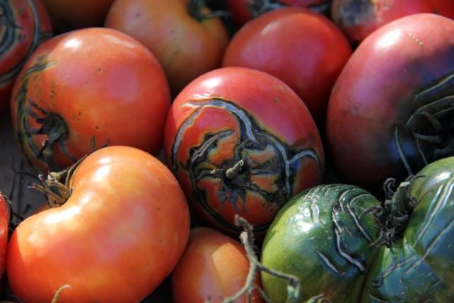 Foto von alter Tomatensorte mit RIssen, die leicht schimmeln.