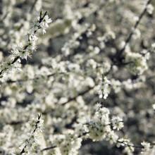 Foto von Schlehdorn in weißen Blüten.