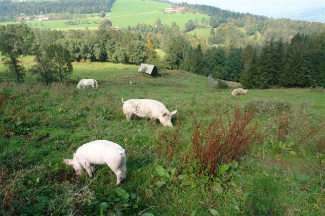 Foto von Schweinen auf einer sehr großen Weide