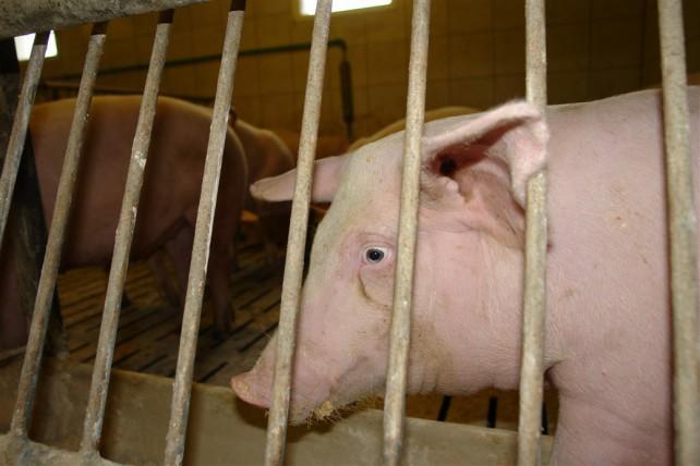 Foto eines Mastschweins mit traurigem Blick in einer Mastanlage