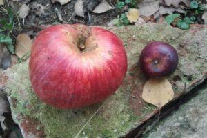 Foto zweier Äpfel - einer von einer überdurchschnittlich großen Sorte, einer von einer recht winzigen Sorte.