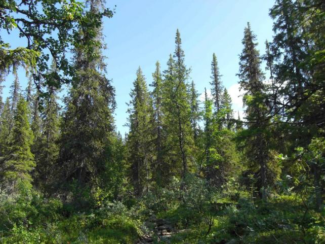 Foto eines Fichtenurwaldes