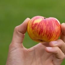 Einzelner Apfel in einer Hand.