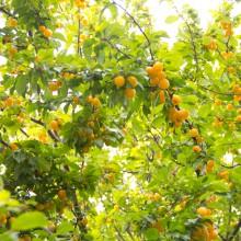Fotos von Kirschpflaumen am Baum.