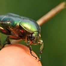 Foto eines grün glänzenden Käfers auf einer Fingerkuppe