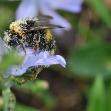 Foto einer Biene, die viele Pollen an sich hängen hat