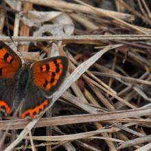 Foto eines Schmetterlings auf Heu sitzend