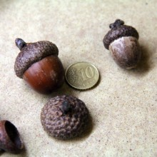 Foto von Eicheln im Größenvergleich mit einer 10 Cent Münze