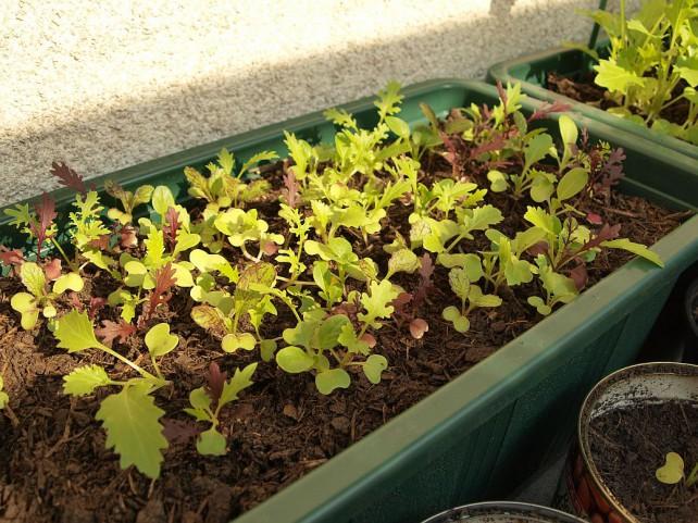 Foto von vielen jungen Asia-Salaten in einem Balkonkasten