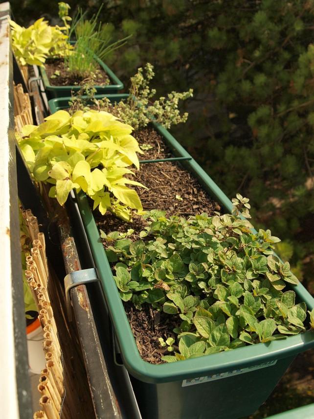 Foto von Oregano, Süßkartoffel, Thymian und Vogerlsalat in Beetkästen