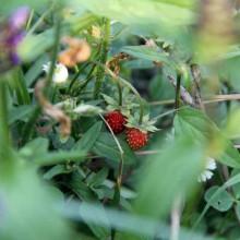Foto von kleinen Walderdbeeren.