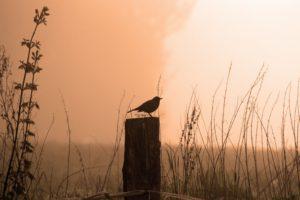 Foto von Amsel auf Holzpfahl