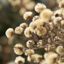 Fotos von kleinen Pusteblumen