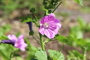 Blüte der Teemalve
