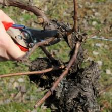 Foto von Rebschere, die gerate eine Rute abschneidet