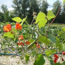 Foto einer Feuerbohnenpflanze am Rankgerüst