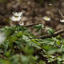 Foto von Buschwindröschen