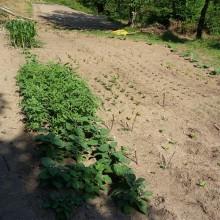 Foto eines jungen Gartens. Toamten- und Maispflanzen sind zu erkennen.