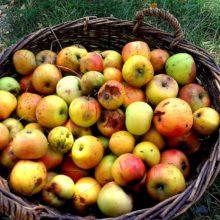 Foto von Äpfeln in einem Weidenkorb