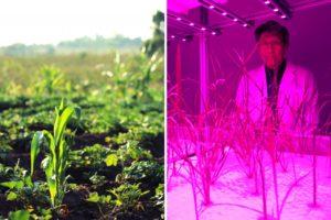 Gegenüberstellung von zwei Fotos: grüne Pflanzen auf dem Feld und Pflanzen im Gentechnik-Labor in lila Licht