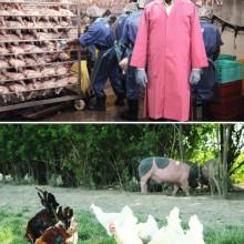 Gegenüberstellung von zwei Fotos: Hühner in einer fabrikähnlichen Anlage und Hühner auf der grünen Wiese