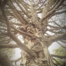 Stark verzweigter Baumstamm einer dicken Kiefer aus der Froschperspektive.