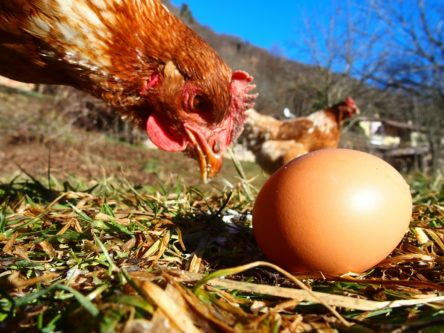 Ein Huhn betrachtet ein im Gras liegendes Ei - Foto einer Reihe als Beispiel für gelebte Bauernhofpädagogik