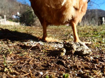 Ein Huhn erleichtert sich und man sieht das Kackhäufchen