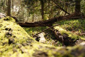 Foto von Bärlauchteppichen