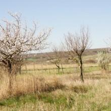 Obstwiese mit blühenden Kirschbäumen