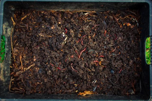 Schon in einer kleinen Wurmkiste können über 1000 Mistwürmer leben