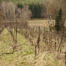 Foto des Weingartens vom Experiment Selbstversorgung - im zeitigen Frühjahr