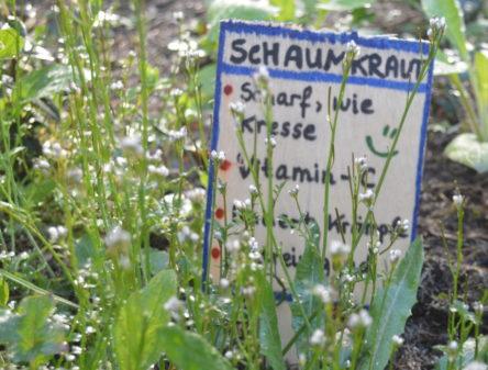 Wildkräuter im Vorgarten, hier: Schaumkraut mit Beschilderung