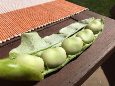 Ackerbohnen in ihrer Hülse